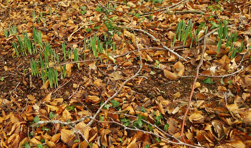 Wild daffodil shoots
