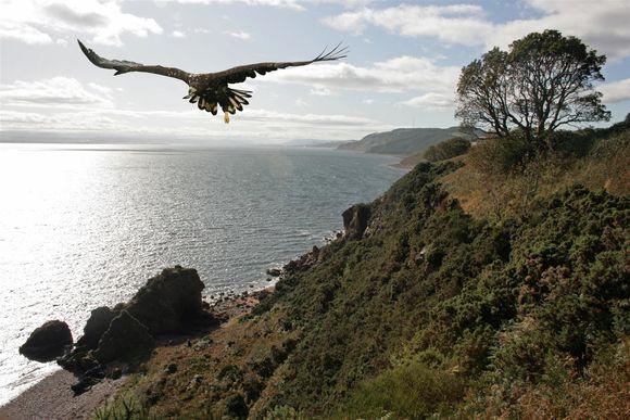 Sea Eagle, Black Isle, Scotland