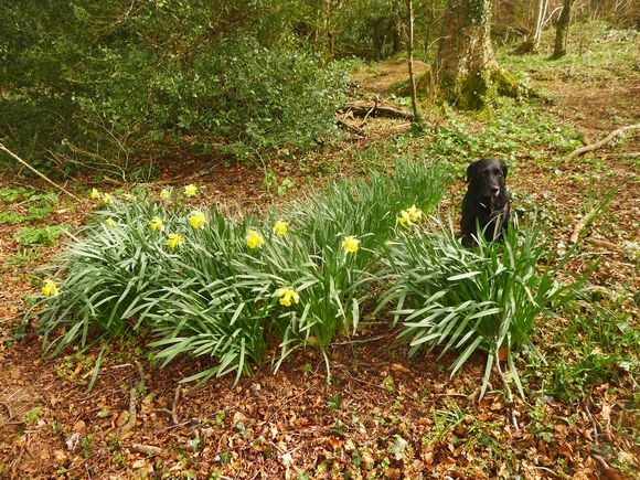 Tilly among the wild daffidils