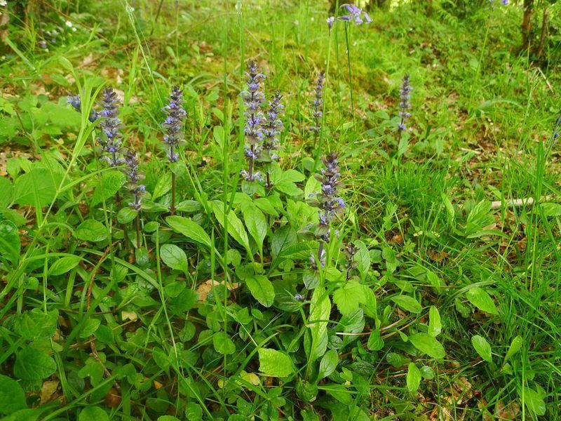 Blue sicklewort