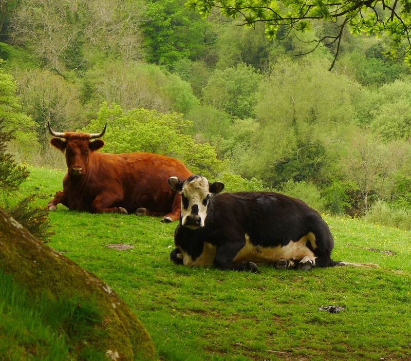 Coffee break among the cows