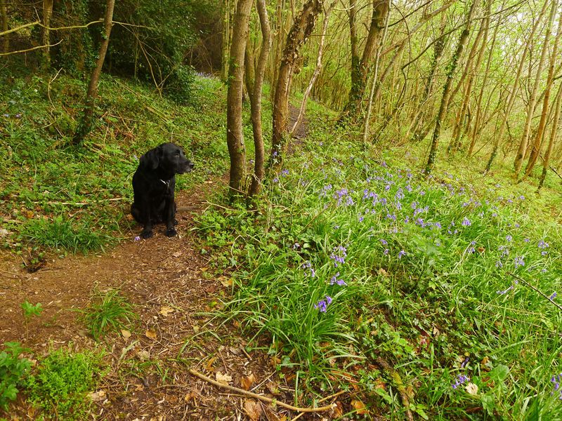 Bluebells and hound