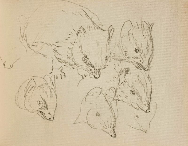 Hedgehog sketches by Beatrix Potter