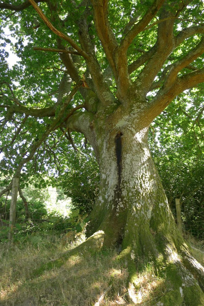 The oak elder