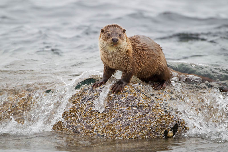 Otter photograph by Mark Hamblin