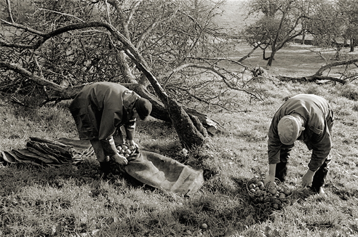 Gathering apples by James Ravilious