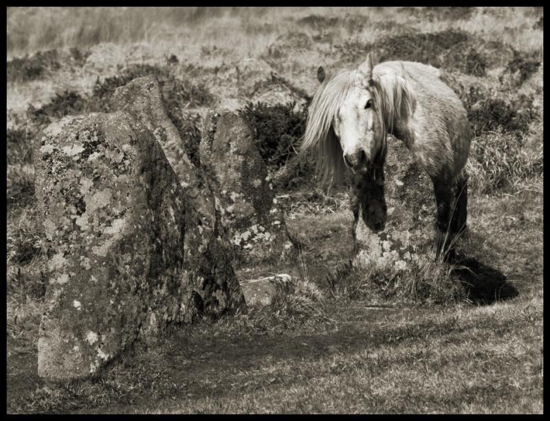''Dartmoor Pony  Scorhill Stone Circle  Dartmoor'' by Stu Jenks