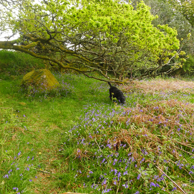 Prowling through the bluebells