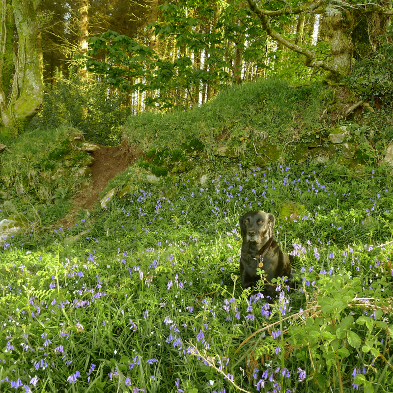 Dog in a bluebell patch
