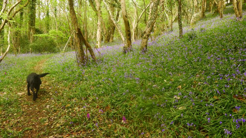 A shimmer of bluebells
