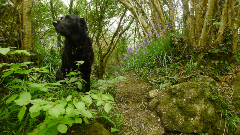 Hound and bluebells