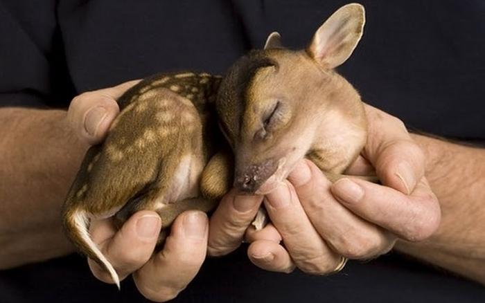 newborn muntjac deer