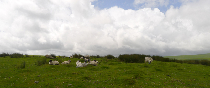 Moorland sheep