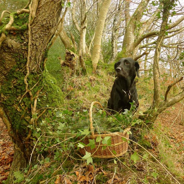 Gathering holly & ivy
