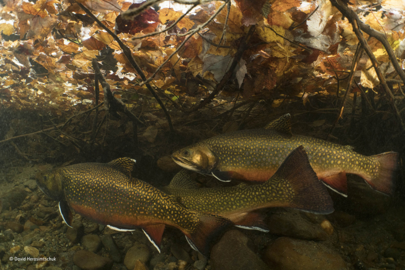 Spanwing brook trout David Herasimtschuk