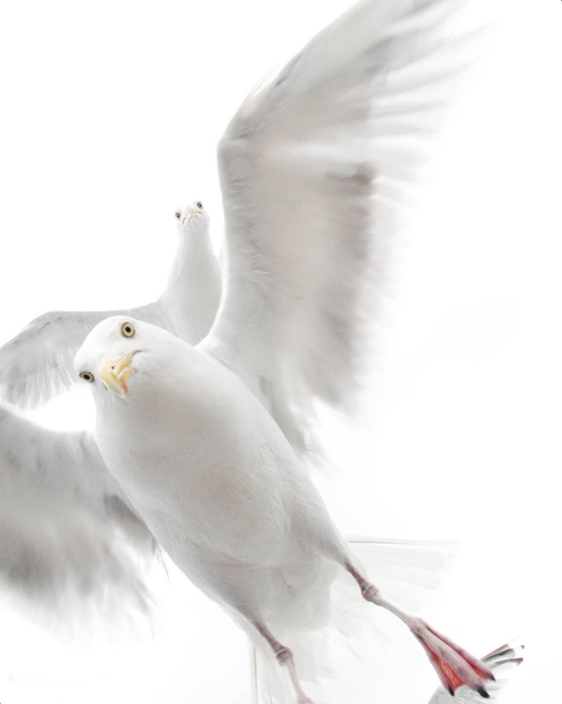 Herring Gulls by Ekaterina Bee
