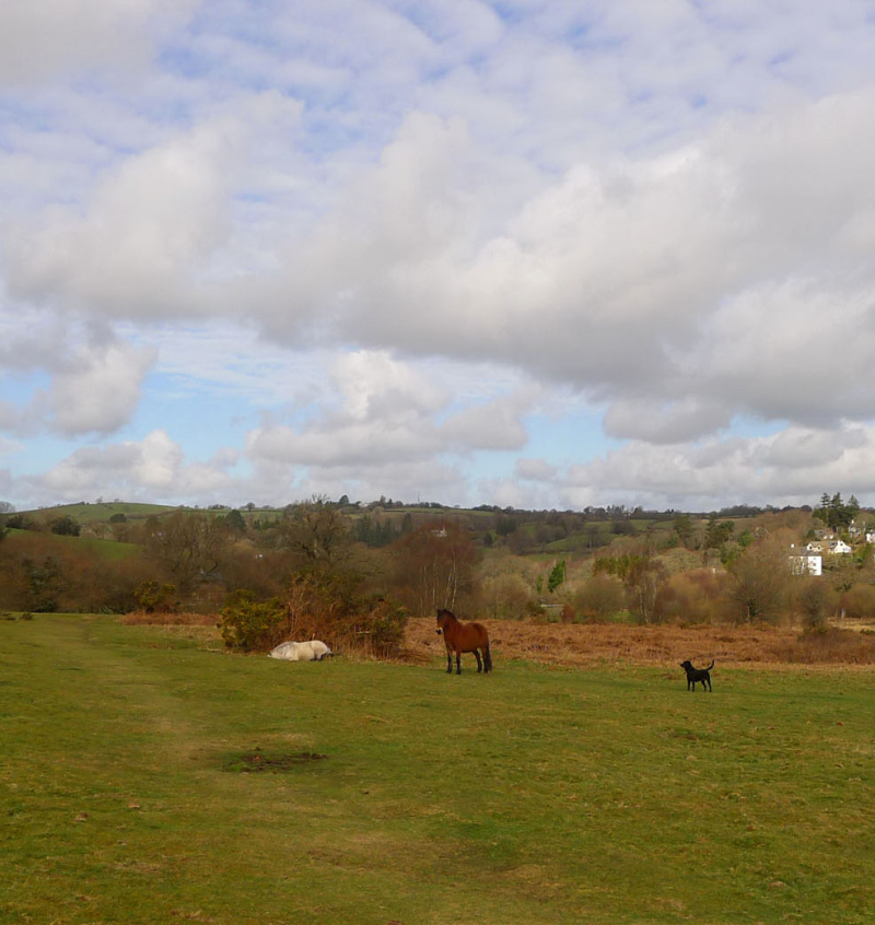 Dartmoor ponies on the Commons