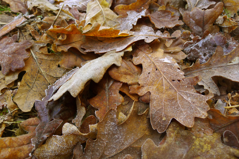 Frost rimmed leaves