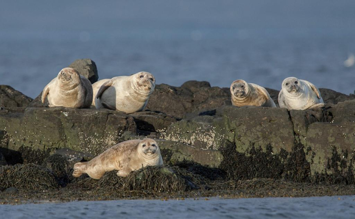Seals in Iceland's Vatnsnes peninsula