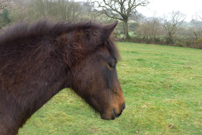 A Dartmoor pony on Meldon Commons