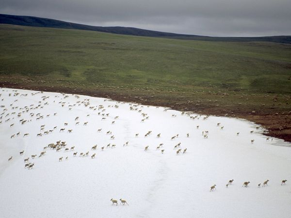 Caribou migrating across the Alaskan tundra by Joel Satore
