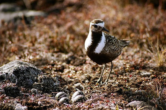Golden plover beside her clutch of eggs