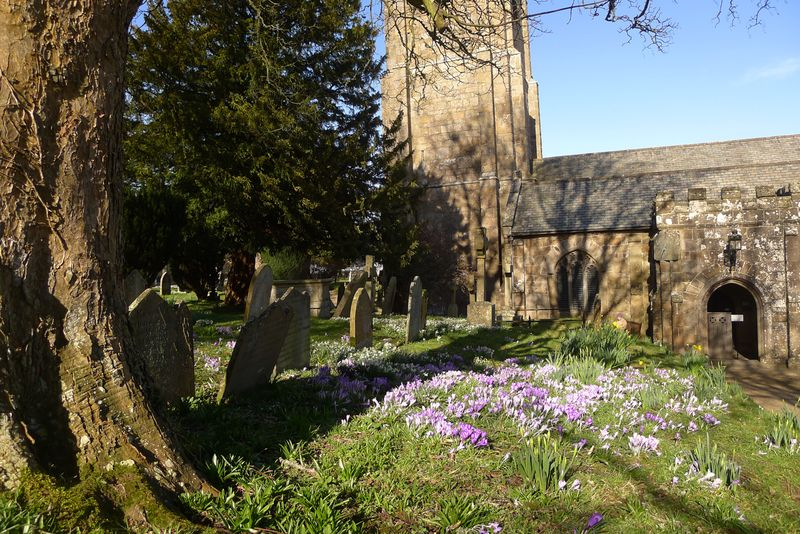 A crocus carpet in the village church yard