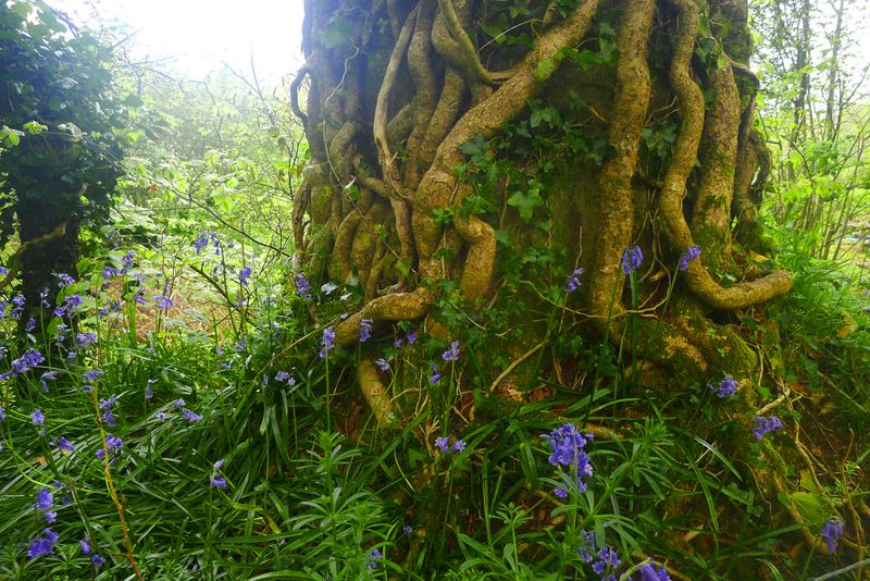 Bluebells among the oak roots