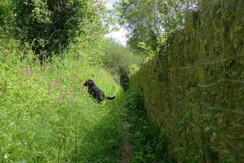 Nettle path by an old stone wall.