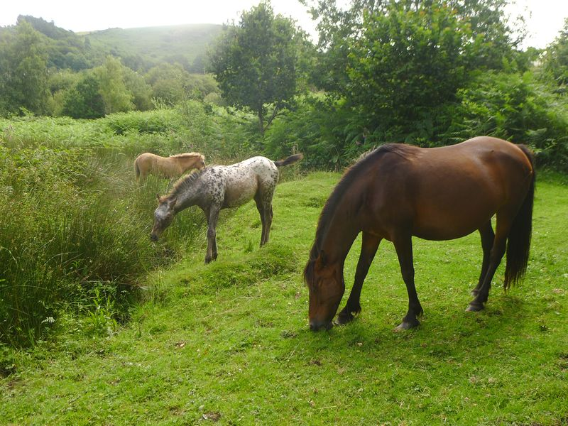 Dartmoor Ponies 3
