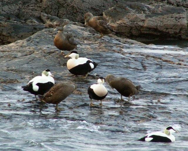 Cuddy Ducks
