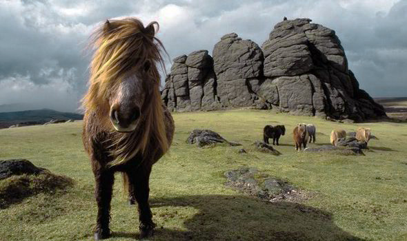 Dartmoor ponies, photograph by Tom Morgan