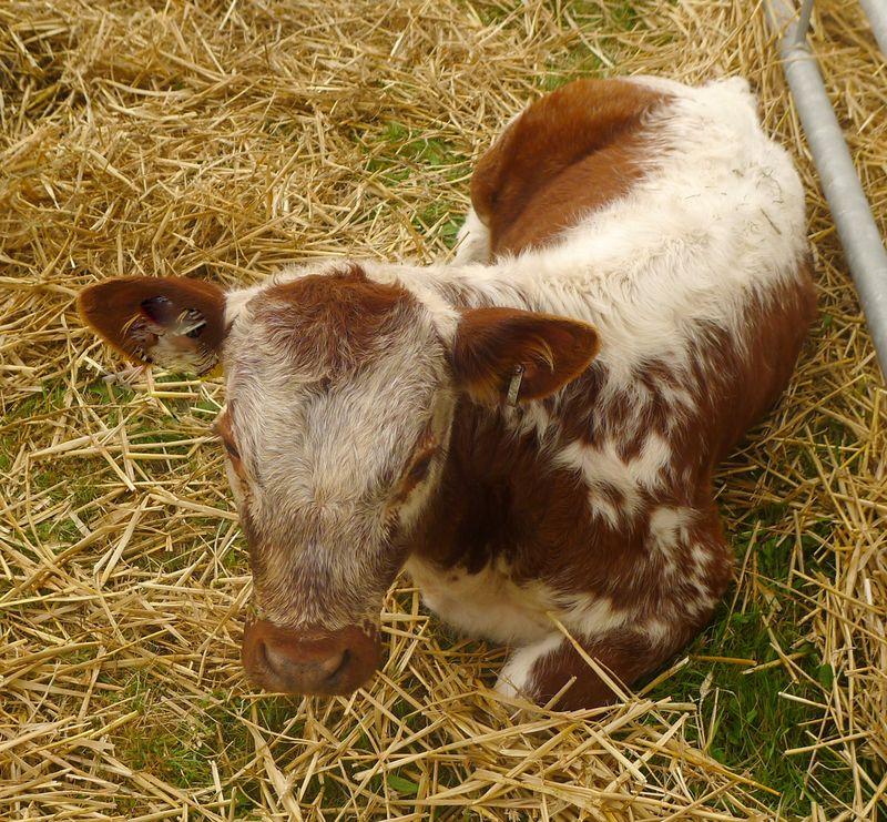 Prize-winning calf