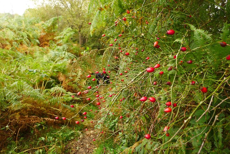 Rosehips by Nattadon leat