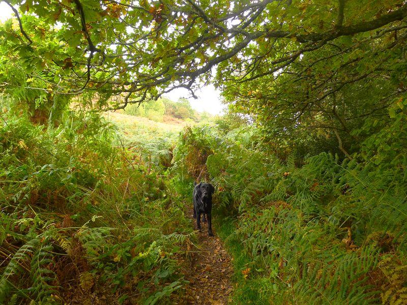 Black dog under the oak boughs