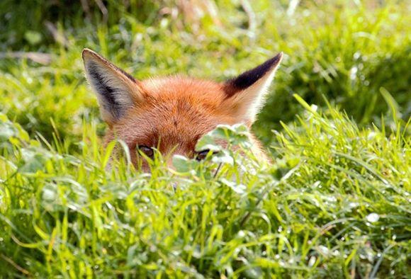 Fox in Grass by Mya Bambrick (age 11)