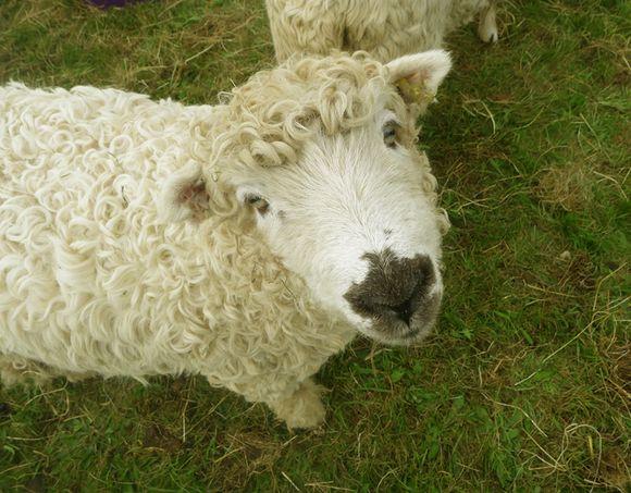 Dartmoor sheep