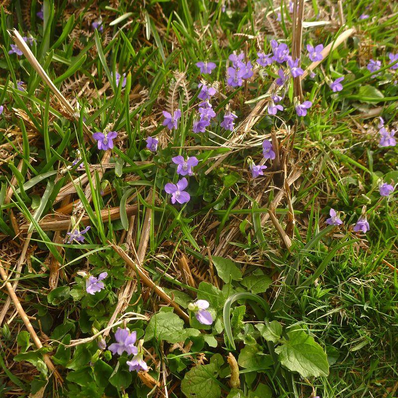 Wild violets 2