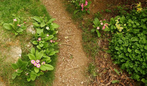 Primroses along the path