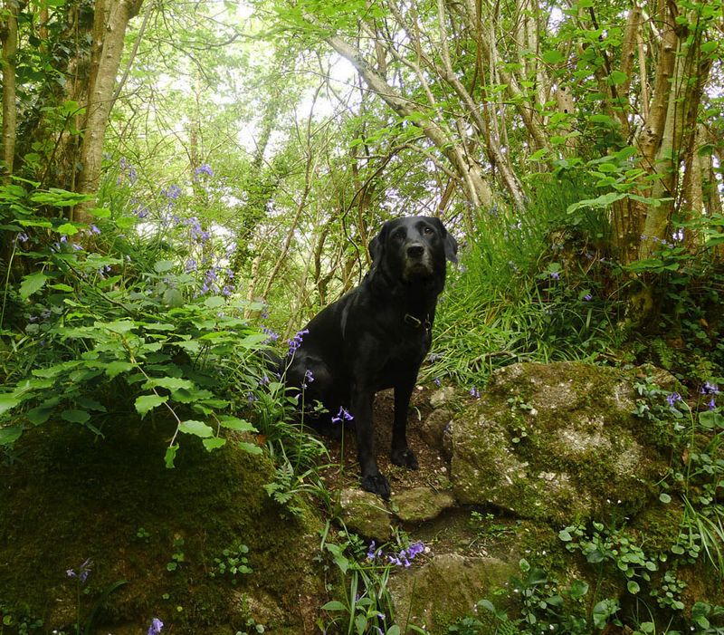 Stone wall, bluebells, & hound
