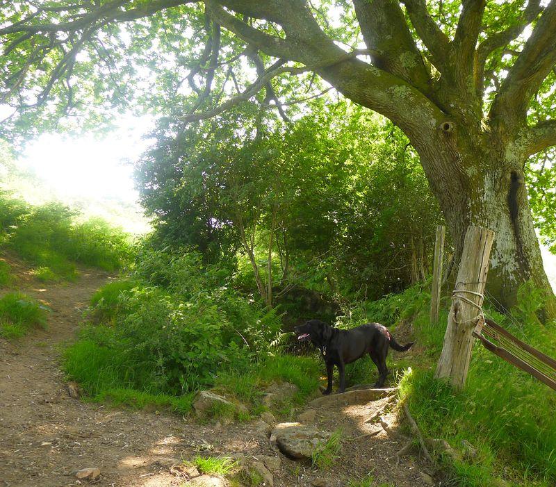 Tilly under the oak