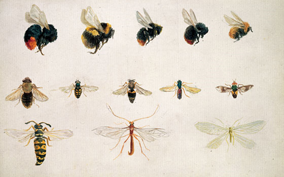 Insect studies by Beatrix Potter