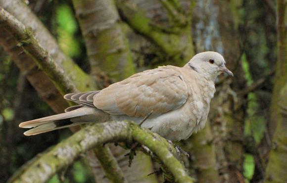 A young Eurasian collared dove, photograph by Diti Torterat