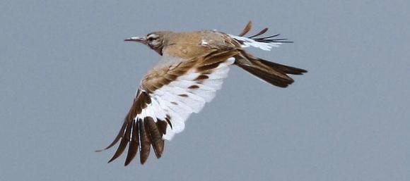 Greater hoop lark in flight