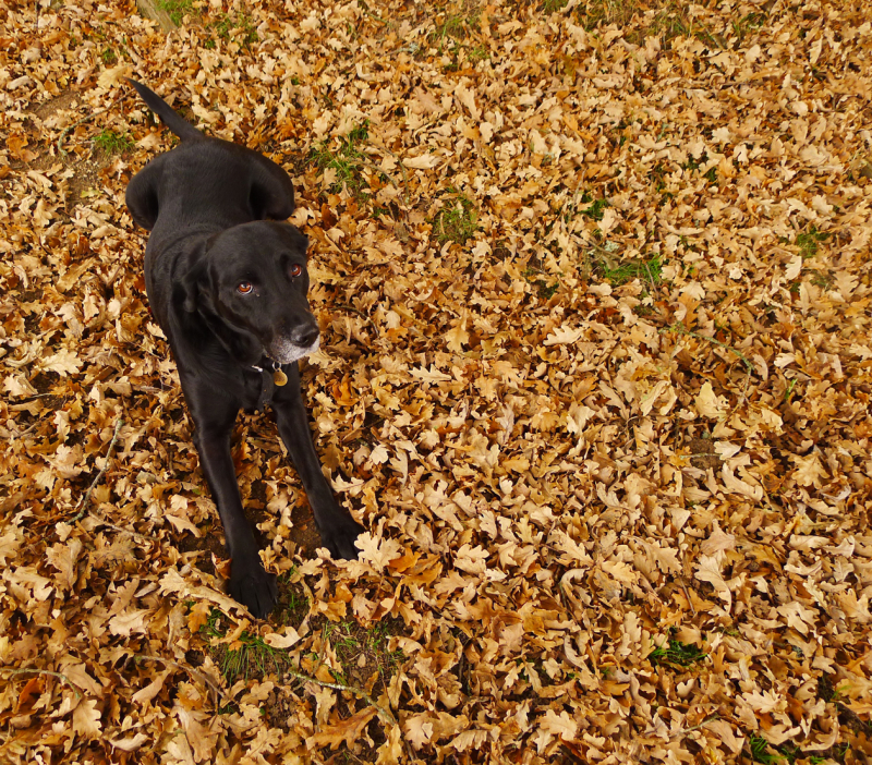 Tilly in the leaves