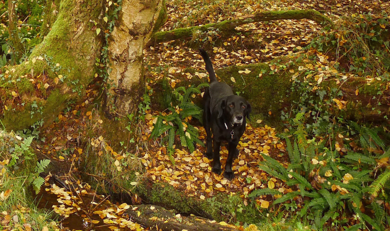 Black dog, golden leaves