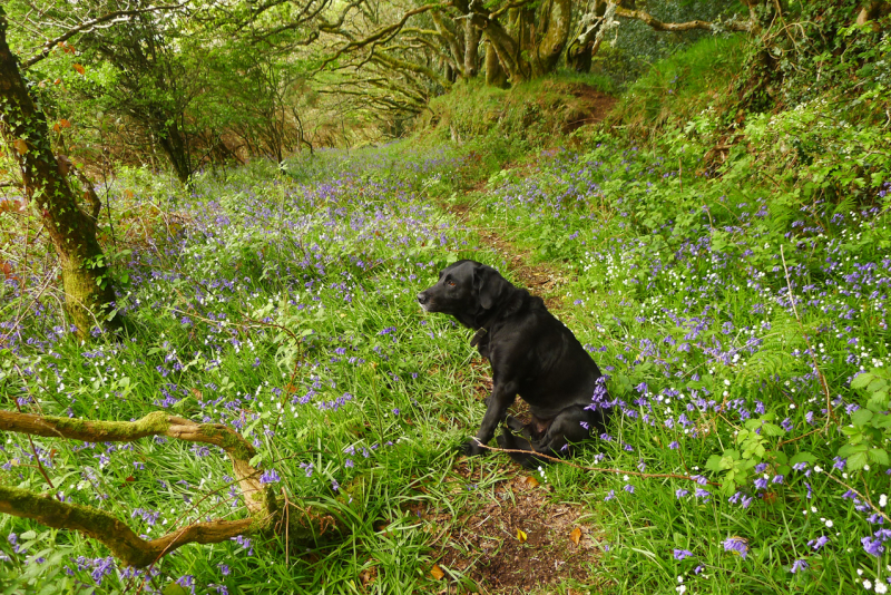 Tilly in the bluebells 2