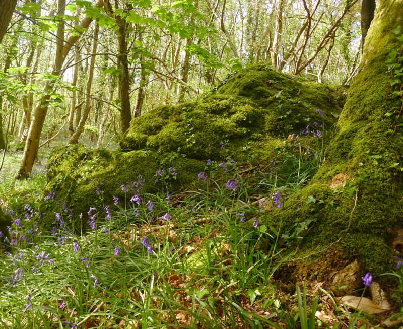 Moss, rock, and bluebells