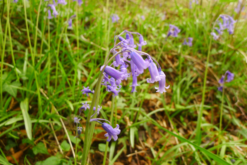 Devon bluebells