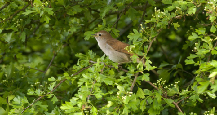 Nightingale  photographed by John Bridges